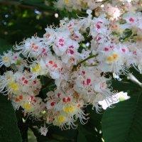 Когда цветут каштаны по весне, И радость снова душу наполняет! :: Люба