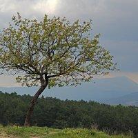 Одинокое дерево :: Валентин Семчишин