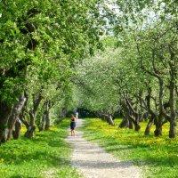 Яблоневый сад :: Татьяна Лобанова