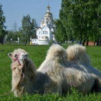 Верблюд – «корабль пустыни», но и в городе он не гость. :: Михаил Столяров