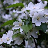 Цветущих яблонь волшебство ... :: Татьяна Котельникова