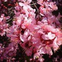.Так цветет сакура. :: Венера Чуйкова