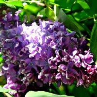 Сирени цветок. :: Михаил Столяров