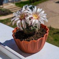 наконец пришла и на Север весна,цветут мать-и-мачеха, одуванчики, кактусы!))) :: Николай Зиновьев