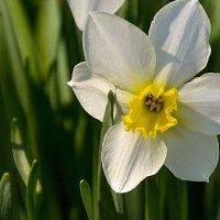 Весенний красавец. :: Александра Климина