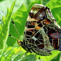 Бабочка .Пестрокрыльница изменчивая. :: Ольга