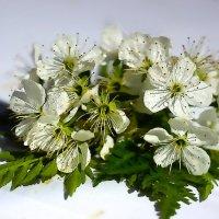 .цветение вишни... :: Ольга Cоломатина