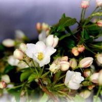 Яблони в цвету... :: Нэля Лысенко