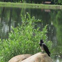Ворона на валуне.. :: Зинаида