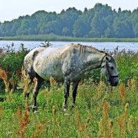 Старая лошадь :: Евгений Кочуров