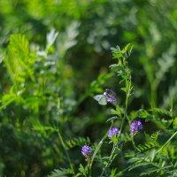 Маленькая бабочка в высокой траве :: Светлана Карнаух