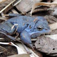 Самец травяной лягушки :: Елена Якушина
