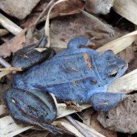 голубая лягушка :: Елена Якушина