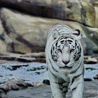 Белый тигр. :: Сергей Дружаев