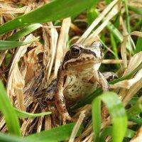 Весенний лягушонок. :: Сергей