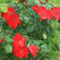 розы :: tina kulikowa