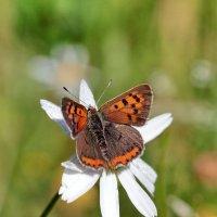Красивая бабочка (название не нашёл) :: Сергей Пиголкин
