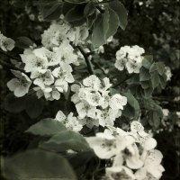 Цвет груши. :: Андрий Майковский