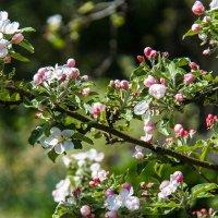 цветет яблоня :: navalon M