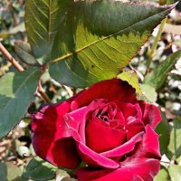 Пурпурная роза :: Владимир Бровко