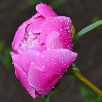 Розовый пион :: Nina Streapan
