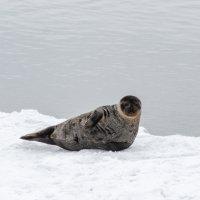 Тюлень в Кандалакше :: Дмитрий Павлов
