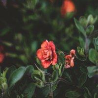 Цветы :: Павел Черноногов