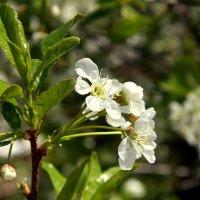 Цветущей вишни запах нежный... :: Нэля Лысенко