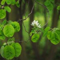 Ирга цветущая :: Iulia Efremova
