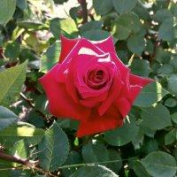 Утрення роза :: Владимир Бровко