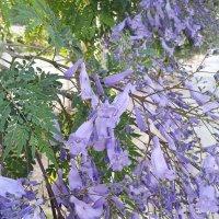 Джакаранда или колокольчиковое дерево. :: Жанна Викторовна