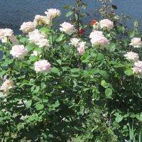 Кустарник белые розы, с розовым оттенком. :: Нина Акарцева