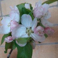 Яблоневый цвет :: Вера (makivera)