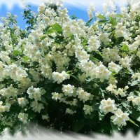 Цветет жасмин. :: Зоя Чария