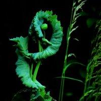 Мак-скоро цветет :: Heinz Thorns
