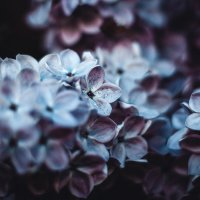 lilac :: Артур Павлов