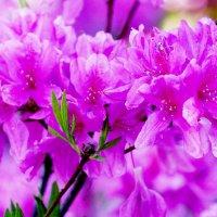 Альпийские розы - азалии :: Wirkki Millson