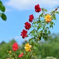 Розовое Чудо: куст один - цветы разные! ) :: Тамара Бедай