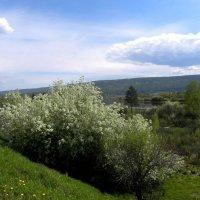 Черёмуха цветёт. :: Вера Литвинова