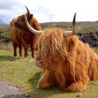 Шотландские высокогорные коровы :: Lyudmyla Pokryshen