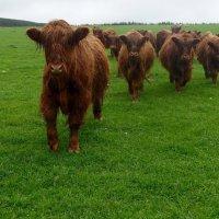 Шотландские коровы Абердин Ангус :: Lyudmyla Pokryshen