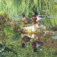 Утки на пруду. :: Наташа С
