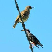 Скворец с птенцом :: Андрей Снегерёв