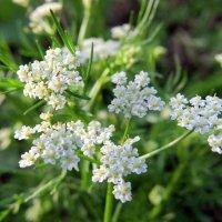Такие крохотные нежные цветочки. :: Люба