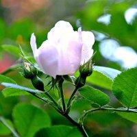 Розы свежести цвет. :: Михаил Столяров
