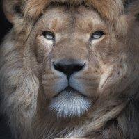 Настоящий Царь зверей :: Владимир Шадрин