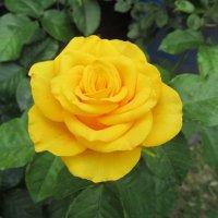 Желтая роза. :: Нина Акарцева