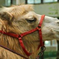 Король пустыни подрабатывает моделью в зоопарке :: Светлана