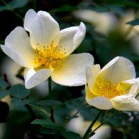 Шиповник цветет :: Лидия Суюрова