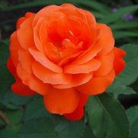 Розы мая... :: Тамара (st.tamara)